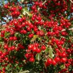 hawthorn-