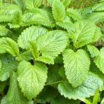 Lemon Balm, Valerian Roots, Buggleweed for Graves' Disease and Hyperthyroidism