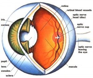 thyroid eye structure