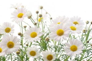 Chamomile 300x200 Hyperthyroidism in Children